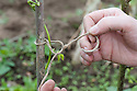Securing runner bean seedlings to a hazel pole using a figure-of-eight knot in garden twine.