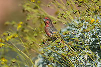 Male House Finch (Haemorhous mexicanus) feeding on Brittlebush or brittlebrush (Encelia farinosa) plant.  Sonoran Desert, CA.  February.