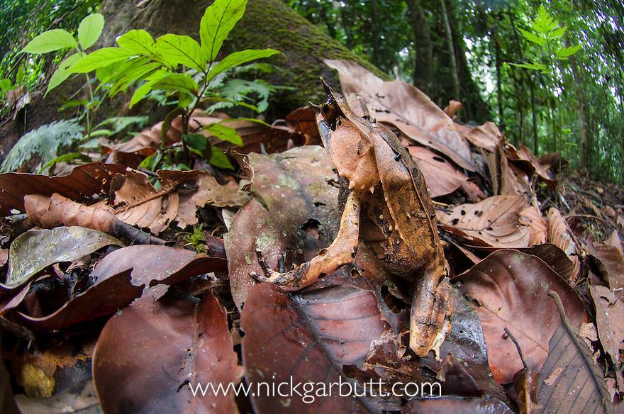 Bornean Horned Frog (Megophrys nasuta) amongst leaf-litter on forest floor. Danum Valley, Sabah, Borneo.