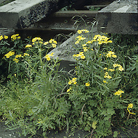 OXFORD RAGWORT Senecio squalidus (Asteraceae) Height to 50cm<br /> Annual or perennial that is much branched from the base, typically forming a straggly, spreading plant. Grows in disturbed ground and characteristic of railway tracks, verges and waste ground. FLOWERS are yellow and borne in heads, 15-25mm across; these are carried in clusters (May-Dec). Note the black-tipped bracts. FRUITS are downy. LEAVES are pinnate with a pointed end lobe.