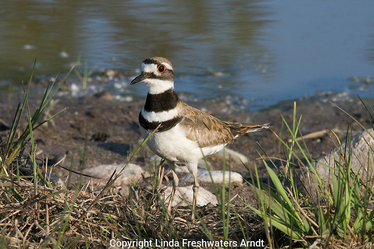 Killdeer (Charadrius vociferus) standing next to a pond