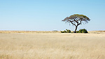 Tree In Etosha National Park.