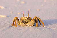 Horned Ghost Crab (Ocypode ceratophthalmus), adult, standing on sandy beach, Maldives, Asia