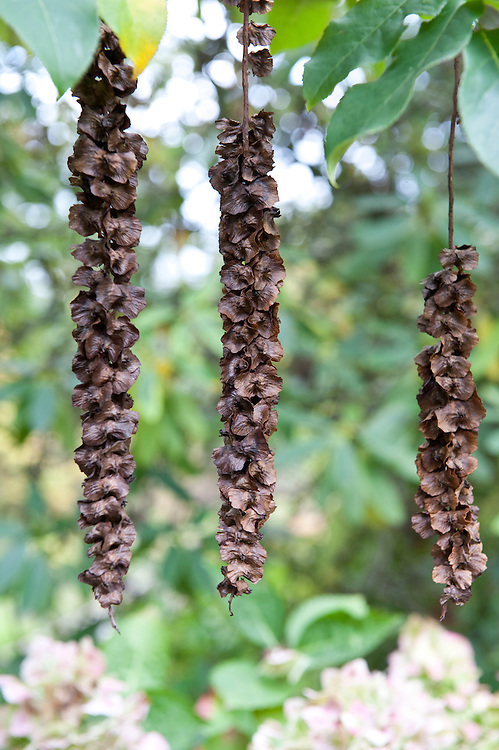 Long, hanging flower strings or catkins of the Caucasian wing-nut tree (Pterocarya fraxinifolia). Each catkin is strung with numerous winged seeds or nuts.