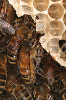 Buildings combs. Bees use 8 to 9 kilos of honey and pollen to produce one kilogram of wax. Wax is produced by eight abdominal glands turning out tiny 0.2 mm specks. The building of 80,000 cells requires 80,000 hours of work and 991,000 specks of wax.