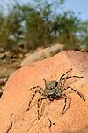 A Giant Crab Spider (Olios) hunting prey, Socotra, Yemen.