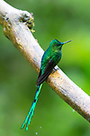 Long-tailed Sylph Aglaiocercus kingi, Chicoral, Colombia