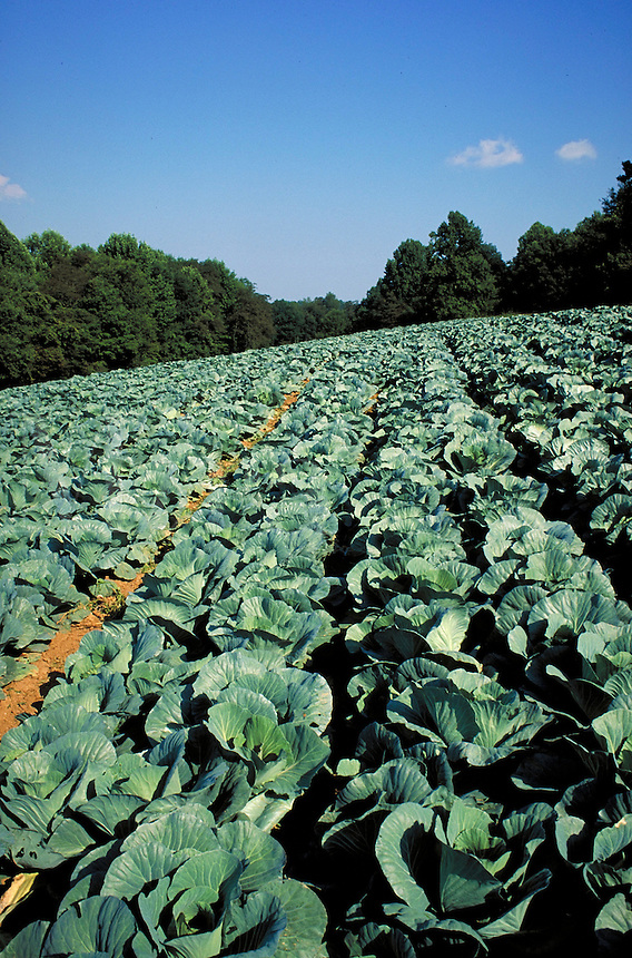 cabbage rows in field with blue sky in horizon. crop, harvest, food, vegetable, farm, farming, agriculture. North Carolina.