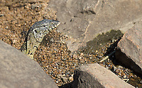 The Nile monitor is a larger lizard with beautiful markings.