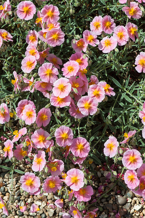 Helianthemum 'Rhodanthe Carneum', late May. A variety of rock rose, an evergreen shrub with silvery-grey leaves and single pale pink flowers with an orange-yellow centre.