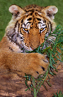 684089247v a siberian tiger cub panthera tigris altaicia an endangered species chews on a plant stem at a wildlife rescue facility
