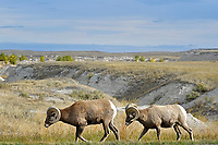 Bighorn Rams, Badlands National Park, South Dakota