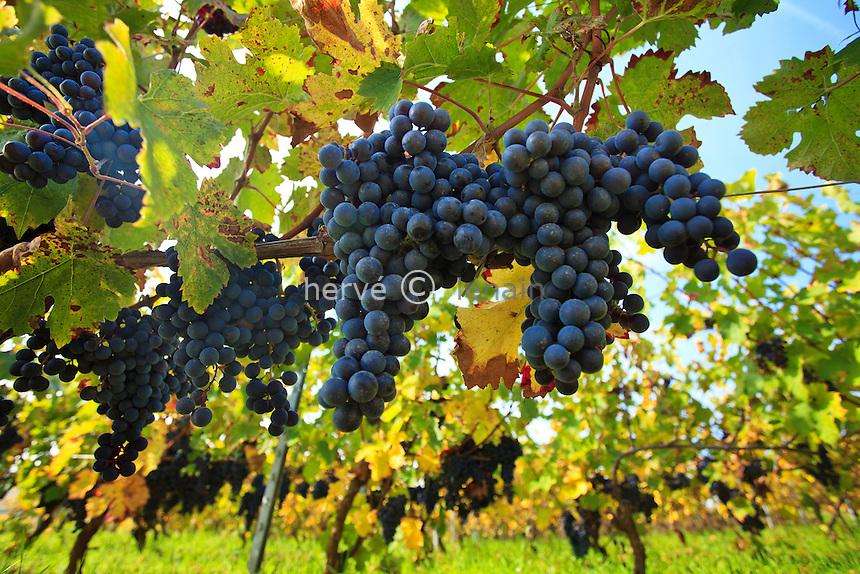 France, Côte d'Or (21), Route des Grands Crus, Pommard, vignoble Côte de Beaune, ceps de vignes et grappes de raisin en automne // France, Cote d'Or, Route des Grands Crus, Pommard, Cote de Beaune vineyard, vine stocks and bunches of grapes in automn