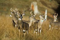 White-tail deer (Odocoileus virginianus), Fall