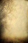 A bare tree in winter with fog