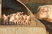 One week old piglets.