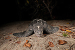 Leatherback turtle (Dermochelys coriacea) female nesting on the beach.
