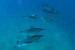 While scuba in Maui during summer is really common to have the oportunity to swim with spinner dolphins. <br />