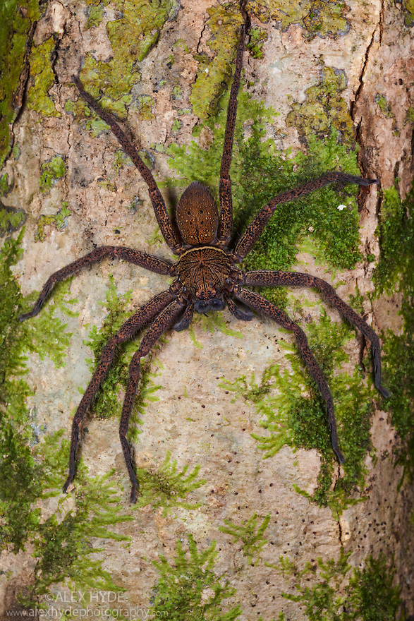 Huntsman Spider {Sparassidae} hunting prey on tree trunk at night. Danum Valley, Sabah, Borneo, Malaysia.