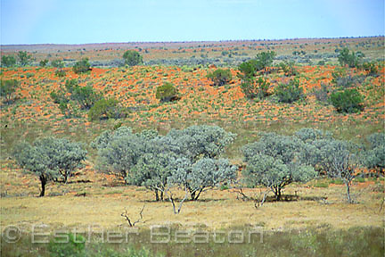 Mulga trees (Acacia aneura) in troughs between dunes, green after recent rain. Simpson Desert, Northern Territory/ Queensland