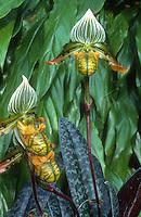 Paphiopedilum venustum, orchid species