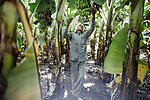 In the Jalgaon district, each banana plant produces an average of twenty-five kilograms per year - much more than elsewhere in the country. The town is the stronghold of the Jain company, which cultivates ultra-resistant cuttings in the laboratory and sells them to the peasants. Result: the latter harvest more, and are less affected by the crisis of Indian agriculture<br />