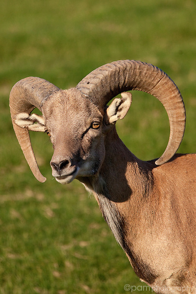 Head and shoulders of big horn sheep