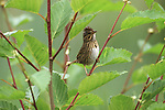 Lincoln's Sparrow perched in a small tree in Alaska.