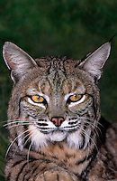 611009041 portrait of a wildlife rescue bobcat felis rufus by its enclosure at a wildlife rescue facility