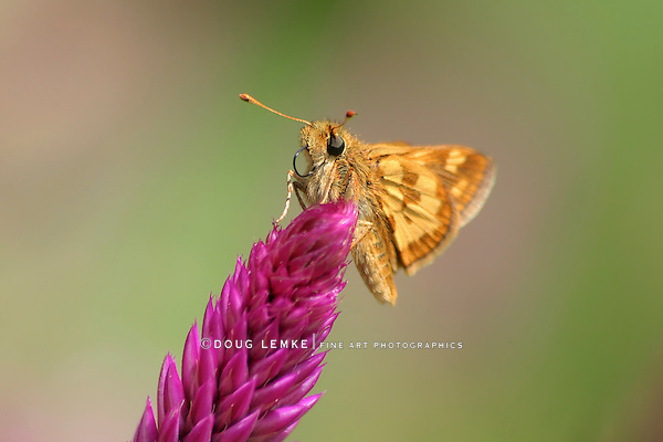 Tiny Butterfly, Yellowpatch Skipper, Polites peckius