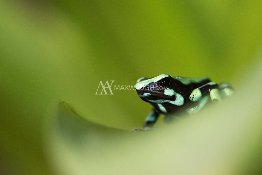 This species is found on both sides of Costa Rica, but the individuals on the Caribbean slope sport more green than black.