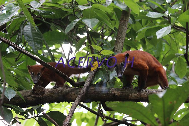 Quatis em árvores.<br /> <br /> Campos de Cachoeira do Arari. Arquipélago do Marajó, Cachoeira do Arari, Pará, Brasil. Foto Armando Teixeira Soares