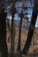 Palm trees after forest fires of July 2007, Masca in background, Tenerife, Canary Islands.