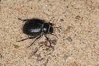 Feistkäfer, Schwarzkäfer, Pimelia cf. payraudi, Pimelia spec., darkling beetle, Pimeliariae, Schwarzkäfer, Dunkelkäfer, Tenebrionidae, darkling beetles, flour beetles, mealworm beetles, Korsika, Corsica