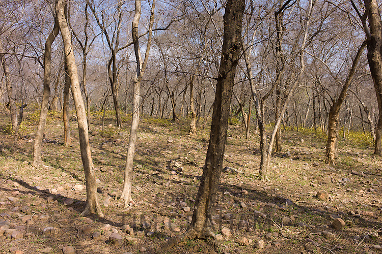 Leafless Dhok trees, Anogeissus pendula, in deciduous forest at Ranthambhore National Park, Rajasthan, Northern India