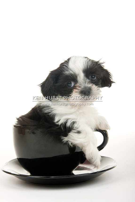Cute black and white Shih Tzu puppy in a teacup - well, actually it's more of a soupbowl and saucer - but still very cute. Shot on white background.