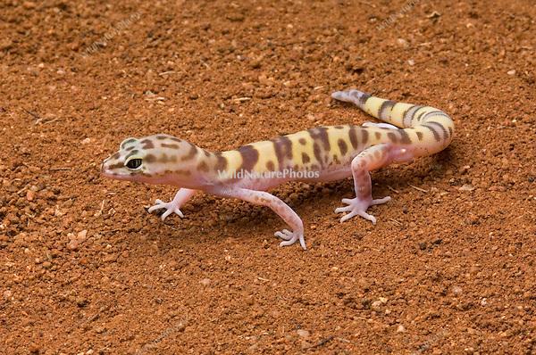 Western Banded Gecko, Coeonyx variegatus; Sonoran Desert, Arizona