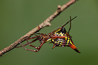 Female Arrowshaped Micrathena (Micrathena sagittata), Great Smoky Mountains National Park