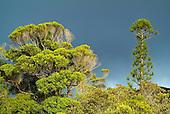Araucaria rulei
