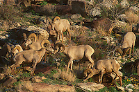678590002 a wild herd of peninsula bighorn sheep rams ovis canadensis cremnobates forage and interact on a rocky hillside in anza borrego desert state park in california