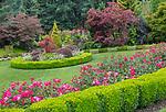 Vashon Maury Island, Washington: A line of Knockout roses 'Radrazz' and boxwood overlooking summer garden