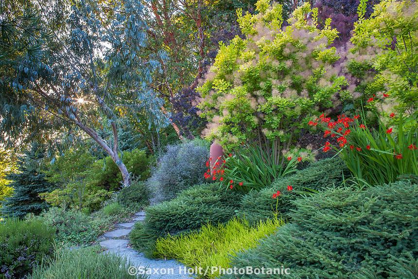 "Cotinus coggygria ""Golden Spirit' (Smoke Bush) and Eucalyptus glaucescens (Tingiringi Gum) bordering hillside path Albers Vista Gardens"