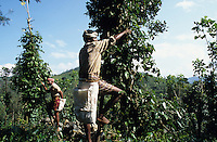 INDIA Kerala, Idukki District, Peermade, Cardamom Hills, organic and fairtrade pepper project of PDS Peermade Development Society, farm worker harvest green pepper berries, after harvest they will be dried in the sun / INDIEN Kerala, Kardamom Berge, Peermade Development Society, Anbau von fairtrade und Bio Pfeffer, Bauern ernten die gruenen Pfefferbeeren, nach der Ernte werden sie in der Sonne getrocknet bis sie schwarz werden