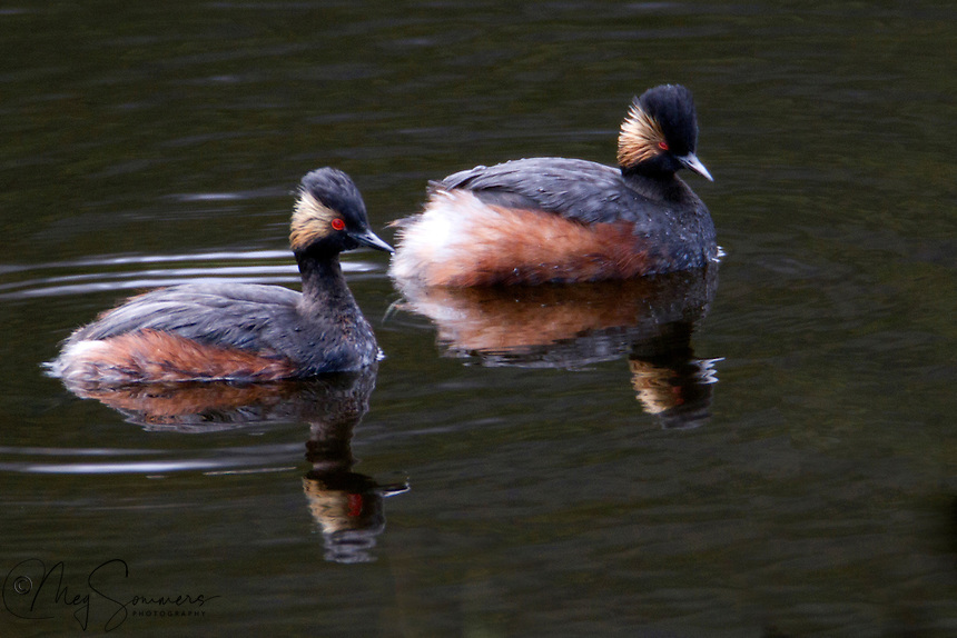 The Eared Grebe (Podiceps californicus)  is an excellent swimmer and diver, and pursues its prey underwater, eating mostly fish as well as small crustaceans, aquatic insects and larvae. It prefers to escape danger by diving rather than flying, although it can easily rise from the water.<br /> <br /> Interestingly, the eared grebe is essentially flightless for most of the year (9 to 10 months), and serves as an example of one of the most inefficient flier among avifauna. Generally, this bird avoids flying at all costs and reserves long distance flight exclusively for migration. However, when migrating, it will travel as much as 3,700 miles to reach its goal.