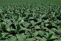 Piante di tabacco.Tobacco plants....