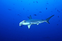 Scalloped HammerHead Sharks ( Sphyrna lewini ), underwater off Cocos Island, Costa Rica.
