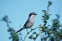 Southern Grey Shrike, Lanius meridionalis,adult, Camargue, France, May 1993