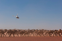 Wild Camels in the Australian desert being mustered by helicopter, Central Australia, Northern Territory, Australia.