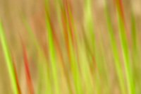 Blurred red and green grasses. Oregon