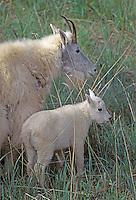 Mountain Goat with kid, Jasper NP, Alberta, Canada